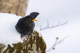 Blackbird / Svartþröstur (Turdus merula)