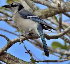 Got The Blues (ACEZandEIGHTZ) Tags: cyanocitta cristata bluejay macro closeup nikon d3200 backyard birdwatcher feathered avian coth alittlebeauty coth5 sunrays5