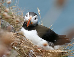 Puffin at Fowlsheugh (eric robb niven) Tags: ericrobbniven scotland dundee fowlsheugh stonehaven wildlife wildbird puffins springwatch