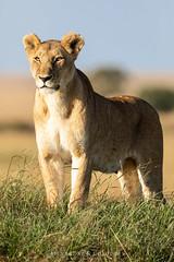 Lion (Waitandshoot - Alexandre & Chloé Bès) Tags: afrique kenya safari oiseaux bird lion cat hunter serval flight baringo sun nature wild wildlife canon sigma elephant