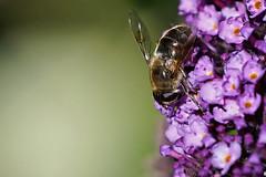 Abeille A7303814_DxO (jackez2010) Tags: ilce7m3 sel14tc fe100400mmf4556gmoss abeille