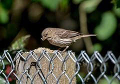 Finch (f) (glenbodie) Tags: 201829 bodie dncb glen glenbodie reifel