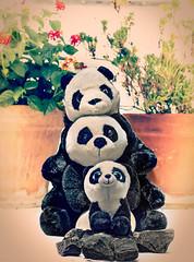 Three Pandas lined up for three (Pepenera) Tags: panda pandas threeinarow macrofriday