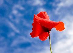P1150096 (Denis-07) Tags: coquelicot fleur flowers