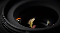 Strike a pose! (esterc1) Tags: mariquita insecto objetivo cámara macromondays photographygear 7dwf smileonsaturday blackbeauty
