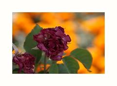2018-07-23_05-54-41 (danielafosci) Tags: fiori flowers nature colori