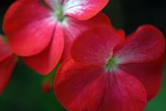 Coral Dreams (Rachela B) Tags: pelargonium geranium coral bright flower flowers plant summer petals mygarden bokeh