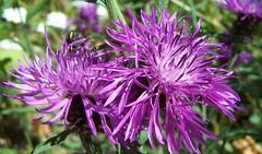 "Greater Knapweed ""Centaurea  scabiosa"" (ERIK THE CAT Struggling to keep up) Tags: littleheath staffordshire toft centaureascabiosa wildflowers"