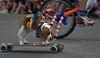 Skateboarding (Scott 97006) Tags: dog canine animal skateboard ride balance spectacle entertainment