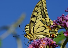 Schwalbenschwanz / swallowtail (3) (Ellenore56) Tags: 06072018 schwalbenschwanz ritterfalter papiliomachaon schmetterling falter tagfalter swallowtail commonyellowswallowtail papilio butterfly machaon insekt insect tier animal tiere animals gelb yellow natur nature fauna tierwelt lebewesen creature garten garden detail moment augenblick sichtweise perception perspektive perspective reflektion reflection reflexion farbe color colour licht light inspiration imagination faszination magic magical struktur structure sonyslta77 ellenore56