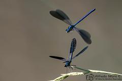 Calopteryx xanthostoma macho (Esmerejon) Tags: dosejemplaresdecalopteryxxanthostomamacho tambiénconocidoscomo zygopteros caballitosdeldiabloytambiénpordamiselas fotografíarealizadaenelcanaldecastillaenlasproximidadesderenedodeesgueva eldía21dejuniodel2018 odonatos damiselas insectos naturaleza insectosribereños