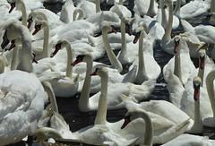 Swan a swimming. (jenichesney57) Tags: