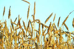 hot end of June, wheat (uiriidolgalev) Tags: hotendofjune wheat