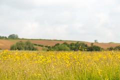Buttercup Meadow (oandrews) Tags: canon canon70d canonuk nature naturereserve northamptonshire outdoors ranunculus ranunculusacris summerleys wildlife wildlifetrusts wildlifebcn wollaston england unitedkingdom gb