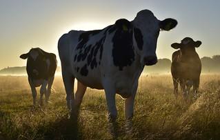 Kühe zu zählen; Bergenhusen, Stapelholm (35)