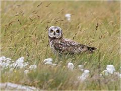 Short-eared Owl (Antony Ward) Tags: owls shortearedowl wild wildbird uist