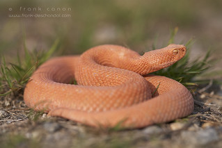 Vipera aspis, albino found in the wild, France