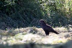 buse variable ( Bureo buteo ) Brech 180625e2 (papé alain) Tags: oiseaux rapaces busevariable buteobuteo commonbuzzard brech bretagne france