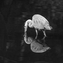 noreHeron (Pascal Riemann) Tags: spiegelung graureiher tier sw natur vogel animal bird nature reflection reflexion schwarzweis bw blackandwhite einfarbig heron monochrome