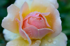 After rain (Antti Tassberg) Tags: closeup ruusu pisara bokeh macro kukka kasvi 100mm flower lens plant prime rosaceae rose