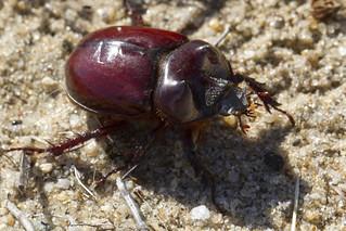 Ox Beetle (Rhinoceros Beetle