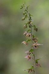 Broad-leaved Helleborine - Epipactis helleborine (viking__77) Tags: 105mmf28micronikkor 2018 a7iii broadleavedhelleborine england epipactishelleborine gamstonwood july nwt nikkor105mmmicroafd nikon nikonafmicronikkor105mmf28d nottinghamshire nottinghamshirewildlifetrust sssi siteofspecialscientificinterest sony sonya7iii summer countryside flora flower orchidaceae outdoors plant wildflower wood woodland