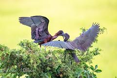 Feeding time (mayekarulhas) Tags: oceancity newjersey unitedstates us glossy ibis canon canon500mm canon1dxmark2 bird wildlife wild