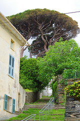 600 - Cap Corse - Pino (paspog) Tags: corse corsica capcorse pino pin pinetree mai may 2018