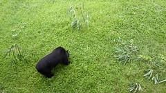 V193 Tim copy (Animals Asia) Tags: animalsasia vietnam vbrc vietnambearrescuecentre moonbear wishcometrue rehabilitation endbearbilefarming
