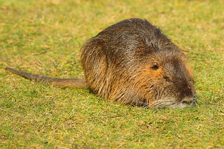 Big Nutria sitting on a meadow near the river Lippe