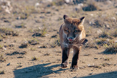 Offering a Feather (Dan King Alaskan Photography) Tags: redfox fox kit vulpesvulpes feather northslope alaska canon80d sigma150600mm