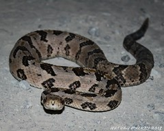 Timber rattlesnake. Crotalus horridus (Snakes on the Plains Photography) Tags: snake roadway county stephens oklahoma mackey nathan viper pit venomous horridus crotalus crotalushorridus rattlesnake timber