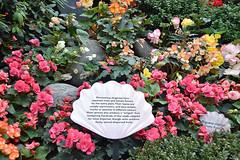 Begonia Brilliance (chooyutshing) Tags: flowers begonias begoniabrilliance floraldisplay flowerdome gardensbythebay baysouth marinabay singapore