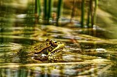 El camuflaje (yuturjpd) Tags: rana frog camuflaje sony sonye a6000 macro cloeup closeup batracio
