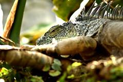 Iguana (42jph) Tags: nikon d7200 nature animal uk england stratforduponavon stratford upon avon warwickshire iguana 105mm f28g edif afs vr micro lens