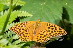 Dark Green Fritillary (PedroLanders) Tags: denhamwoods devon berealston butterfly insect