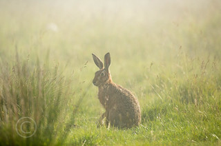 Wildlife around Magdalen June 2018 015 - Hare in the fog one morning