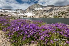 North Peak Wildflowers (Ben Sheriff Photography) Tags: inyocounty hoover wilderness easternsierras sierranevadamountains wildflowers summer backpacking northpeak 20lakesbasin hike lake clouds