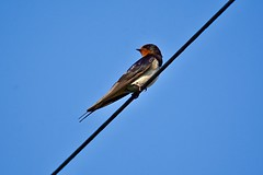 Swallow (victorhobson55) Tags: wild life blue sky 600 fairburn nikon d7200 magnificent beautiful nature photography telephone wire swallow