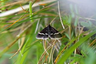 Pyrausta cingulata, Warton Crag, Lancashire, England