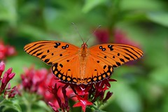 Orange you glad it's Friday? DSC_8278 (blthornburgh) Tags: orange orangebutterfly insect flyinginsect bug butterfly gulffritillary friday nature backyard garden fritillary pattern dots flower florida commonbutterfly wings bugeyes antena closeup sunshinestate summertime summer colorful beauty