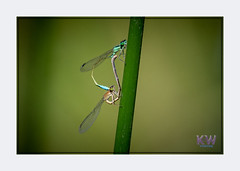 1O7A3413.jpg (kishwphotos) Tags: commonbluedamselfly nature mating insect attractions butterflies naturalworld wildlife dragonfly naturalhistory walpolepark parks damselfly anthropology faunaandflora geology