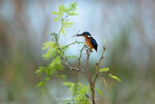 Malachite Kingfisher - Martin Pecheur Malachite