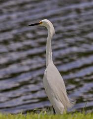 07-21-18-0028312 (Lake Worth) Tags: animal animals bird birds birdwatcher everglades southflorida feathers florida nature outdoor outdoors waterbirds wetlands wildlife wings