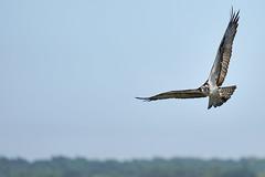 _A734950 (bram-sowers) Tags: sonyfe2470gm sonyfe100400mmgm sonya7riii warsawvirginia rappahannockriver eagle osprey tycho chez