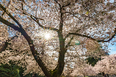 Cherry blossoms (mfeingol) Tags: sun spring washington cherry uw universityofwashington yoshinocherrytree seattle cherryblossom