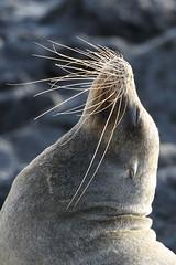 Galapagos Sea Lion - Zalophus wollebaeki - Puerto Baquerizo Moreno, Isla San Cristobal, Galapagos, Ecuador - July 8, 2018 (mango verde) Tags: galapagossealion zalophuswollebaeki otariidae earedseals zalophus wollebaeki seal sealion mammal puertobaquerizomoreno islasancristobal galapagos ecuador mangoverde