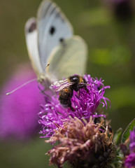Intruder Alert! (Hector Patrick) Tags: dng flickrelite lightroom614 northyorkmoors northyorkshire pentaxdfa100f28wrmacro pentaxk1 rosedaleabbey yorkshire britnatparks churchyard insects nature macromondays macro bumblebee butterfly naturaleza natur