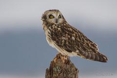 This is more like it.. (Earl Reinink) Tags: owl raptor outdoors nature bird shortearedowl tree eyes earl reinink earlreinink tduaeaudha