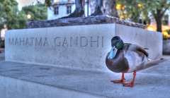 Reincarnated ? (tcees) Tags: parliamentsquaregarden london sw1 parliamentsquare westminster mahatmagandhistatue urban statue duck x100 fujifilm finepix light mahatmagandhi wildlife bird uk